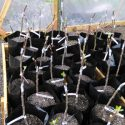 newly grafted apples